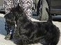 Scottish Terrier. Kennel of Scottish Terriers ot SofiiEleny.